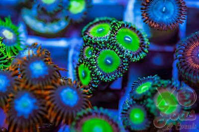 Rainbow Skittles Palys Zoas Zoanthids 5 Polyp Coral Frag Marine High End Soft Pa