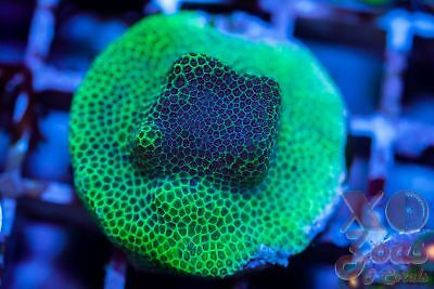XO Spearmint Pacers Porites Hard Coral Frag LPS High End Ultra
