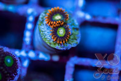 Treehouse of Horror 2p Zoas Zoanthids Polyp Soft Coral Marine Frag High End