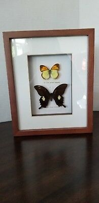 TAXIDERMY shadowbox FRAMED butterfly INSECT DECORATION Ixias pyrenees,pavilion 2