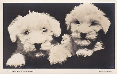 SEALYHAM Terrier two Dogs old Original RPPC Real photo postcard