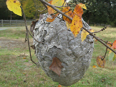 Large Bald Face Hornet Nest-REAL Paper Wasp Nest Great for Science Class/Collec