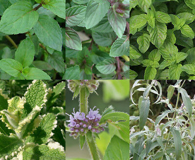 Mint 9cm Herb Plant Mix of Varieties e.g. Garden, Chocolate, Moroccan, Apple etc