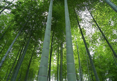 "Phyllostachys edulis ""Moso"" Bamboo Seeds 100+ fresh seeds US SELLER"