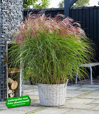 """Miscanthus """"Red Cloud®"""",1 Pflanze"""