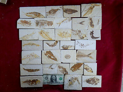 lot of 30 fossil fish