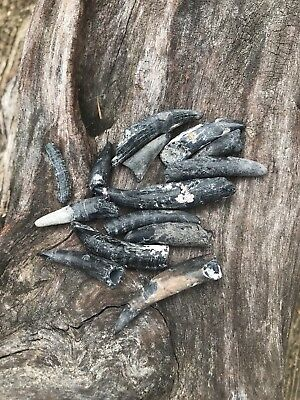 49g 14 PIECES PREHISTORIC DOLPHIN TEETH FOSSILS SOME WITH CORAL