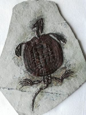 Placochelys Fossil Turtle Dinosaur Placodonts Skeleton With Skull Claws Triassic