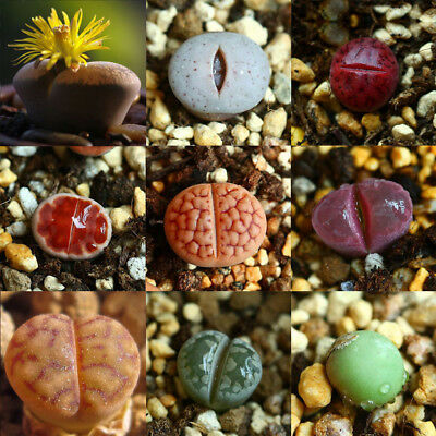 Rare Mixed Lithops Seeds Office Living Room succulent Plants Decora Bonsai Gifts