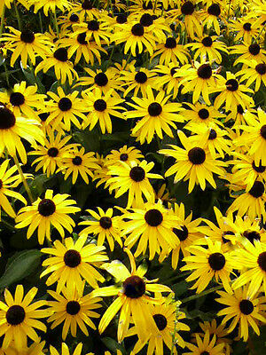 1/4 oz Black Eyed Susans Seeds, Bulk Flower Seed, Heirloom Non-GMO, About 20,000