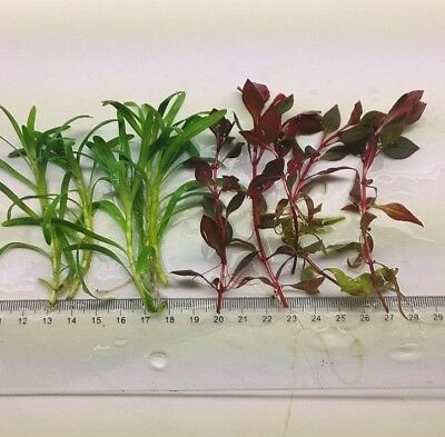 Plants Combo Pack 2 - 2 Types Live Aquarium Plants