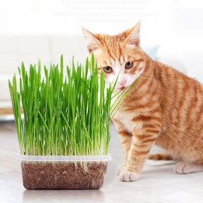 Cat Grass Seeds - Play - Grow Your Own -Happy Kitty - Aids Digestion - Health Uk