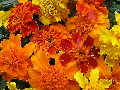1/2 oz Mixed Marigold Seeds, Farm Mix, Bulk Seed, French Marigolds, approx 6000