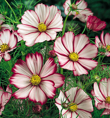 Pink Cosmos Seed, Picotee, Heirloom Cosmos, Bulk Seeds, Draws Butterflies 250ct