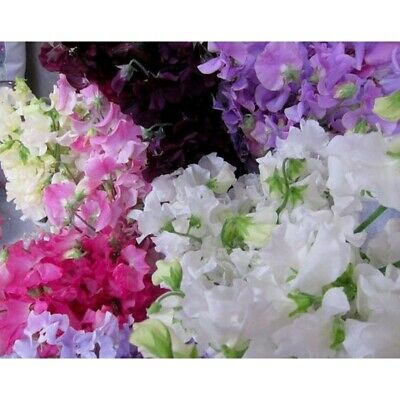 SWEET PEA & JASMINE Reed Diffuser Oil + 10x FREE STICKS! Refill your Diffuser