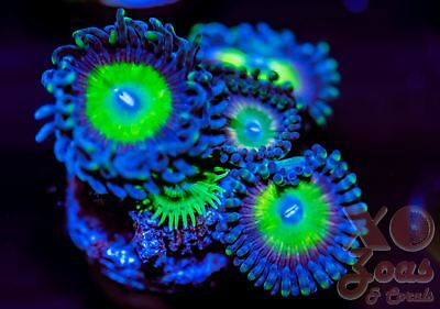 Candy Apple Rainbow Palys Palythoa Zoas Zoanthids 3 Polyp Coral Frag Marine High