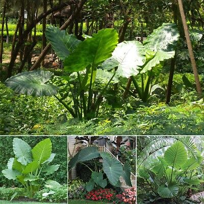 100pcs Thailand Giant Elephant Ear Seeds Colocasia Plant Green Big leaved Seed