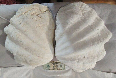 XL MATCHED pair (!) Tridacna Giant clam shell 19 x 13 with FREE shipping