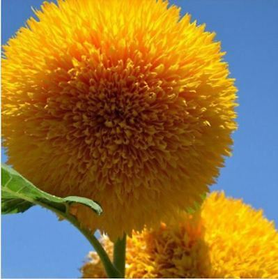 15 Seeds Teddy Bear Sunflower Seed Semi Dwarf Helianthus Garden Beautiful Flower