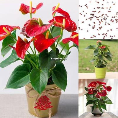 20Pcs Anthurium Seeds Perennial Evergreen Herb Bonsai Plants Seeds ESY1