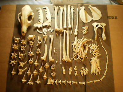 Taxidermy skeleton real red fox dissarticulated clean sorted skull  nice