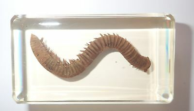North American Millipede in 73x40x22 mm Amber Clear Block Learning Specimen