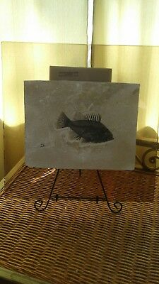 Very Nice Priscacara Fossil Fish Green River Formation Wyoming