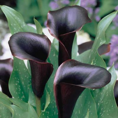 3Pc Bulbs True Calla Lily Bulbs Calla Bulbs Not Calla Lily Seeds Flower Root