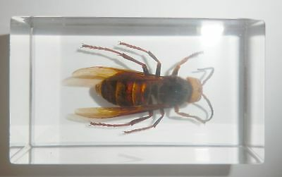 Tropical Tiger Hornet Vespa tropica in Clear Block Education Insect Specimen