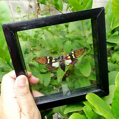 Real Cicada Gaeana Cheni Bug Insect Taxidermy Double Glass Display Mounted Frame