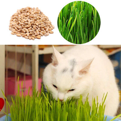Sprouting Seeds Wheatgrass 150g Kitten Barley Seed Grass For Cats and Other Pets