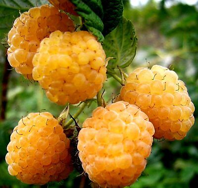 "Raspberry macrocarpa yellow ""Golden"" Seeds Berries 20 SEEDS"