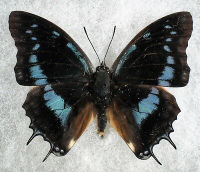 Insect/Butterfly/ Charaxes ssp. - Male 2.5""