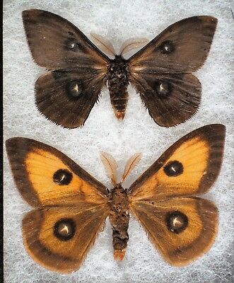 "Insect/Moth/ Aglia tau - 2 Males 2"" 1 Black Aberration"