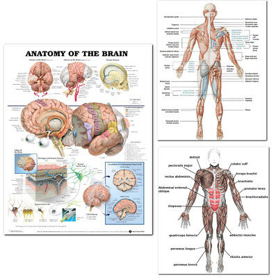 Human Body Brain Anatomy System Poster Anatomical Chart Educational Poster USA