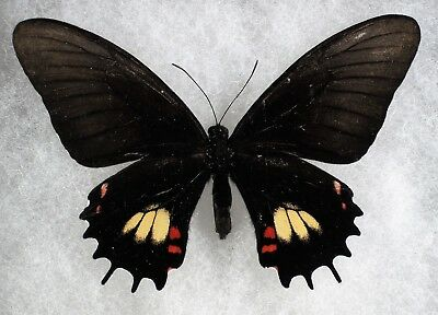 """Insect/Butterfly/ Papilio garleppi interuptus - Female 3.5"""" VERY RARE"""