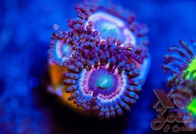 LC Hawkmoon Zoas Zoanthids Palythoa 3 Polyp Soft Coral Frag High End Ultra