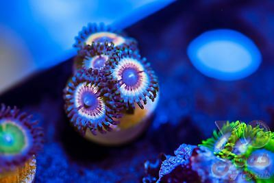Sonic Flare Zoas Zoanthids Palythoa 4 Polyp Soft Coral Frag High End Ultra