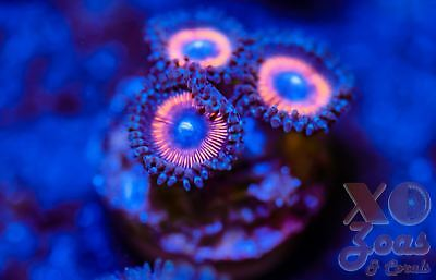 Armour Of God Palys Palythoa Zoas Zoanthids 3p Coral Frag Marine High End Soft