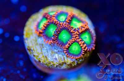 Goblins On Fire Zoas Zoanthids 8 Polyp Soft Coral Frag A Plug Marine High End