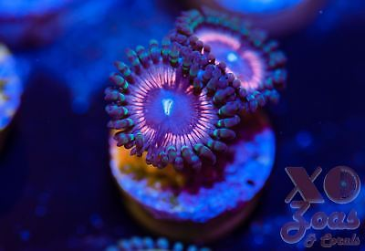 Pink Stink Zoas Palys Zoanthids 2 Polyp Coral Frag Marine High End Soft Palythoa