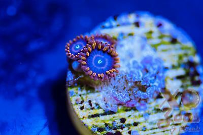 Red Hornets Zoas Zoanthids 3 Polyp Soft Coral Frag Plug Marine High End