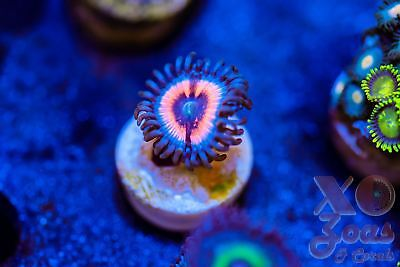 Electric Embers Zoas Zoanthids 1 Polyp Soft Coral Frag High End Ultra Palythoa