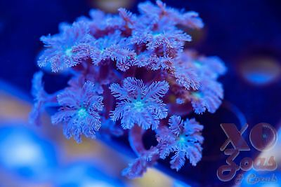 Green Centre Clove Polyps Soft Coral Large Frag GSP Xenia Pachyclavularia