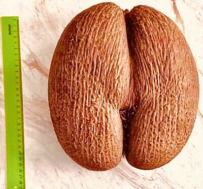 Coco De Mer Nut Official Government Shell of Seychelles