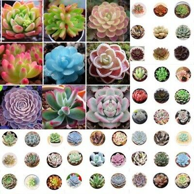 400pc  Mixed Succulent Seeds Lithops Rare Living Stones Plants Cactus Home Plant