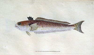 GREAT WEEVER, STING-BULL, Donovan original hand coloured antique FISH print 1808