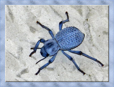 LIVE Desert Ironclad Beetle - Blue Death Feigning Beetle-Educational & Easy Care