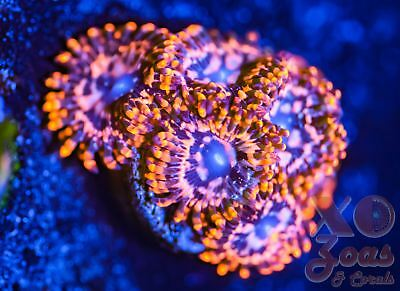 Utter Chaos Zoas Zoanthids 6 Polyp Soft Coral Frag Marine High End Paly Palythoa