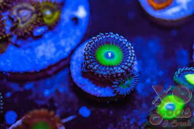 Poisonberries Palythoa Zoas Zoanthids 1 Polyp Soft Coral Frag High End